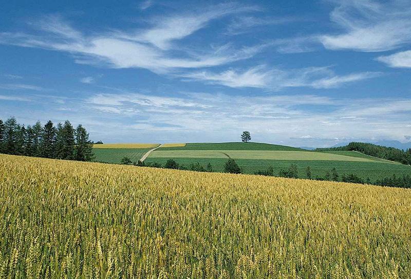 champ-de-mais,-prairie,-paysage,-arbres-coniferes-125049